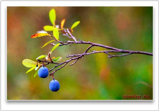 Голубика, сфотографированная профессионально