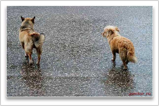 Две собаки бегущие собаки