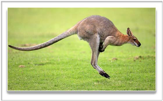Фототермин кенгуру