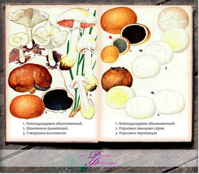 Съедобные и несъедобные грибы.