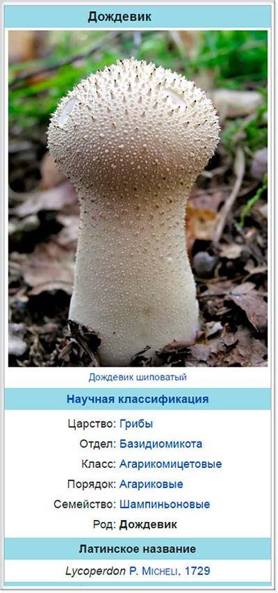Дождевик - род грибов семейства Шампиньоновые или Агариковые (Agaricaceae). Описание дождевика.